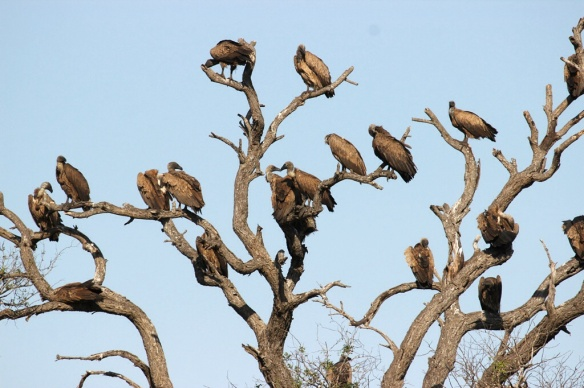 White-backed vultures near a lion kill