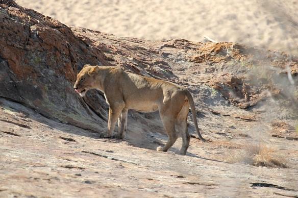 Lioness in Kruger Park, S.A.