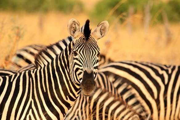 Zebra and waterbuck at Hwange National Park, Zimbabwe