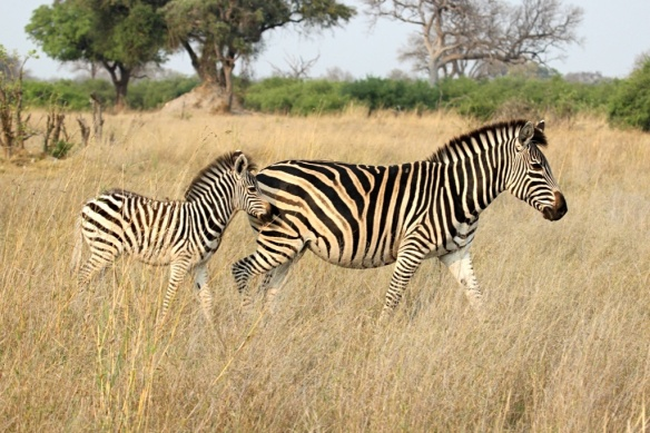 Zebra mare and her foal at Hwange national park, Zimbabwe