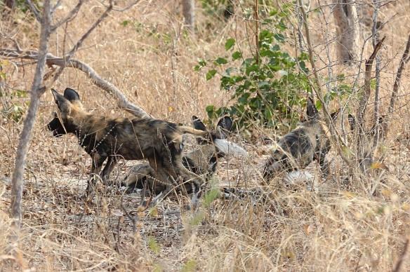 Painted dogs in Hwange national park, Zimbabwe