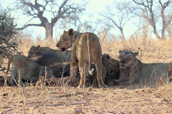 A pride of lions feeding on a young bull elephant