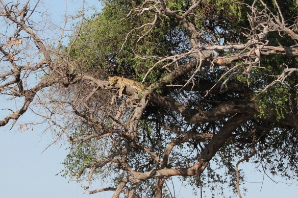 Leopard snoozing on a branch