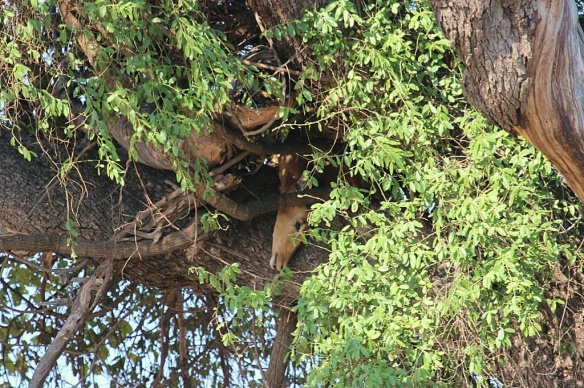 Impala cached in a tree by a leopard