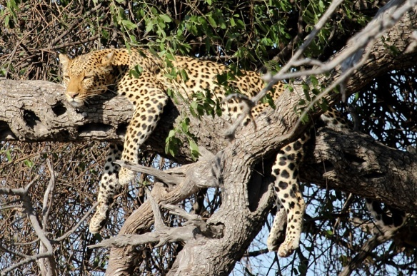 Leopard snoozing on a tree branch