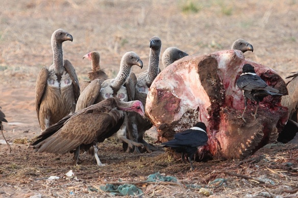 Hooded and white-backed vultures on an elephant carcass