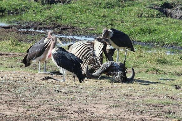 Maribou storks feeding on a Cape buffalo carcass