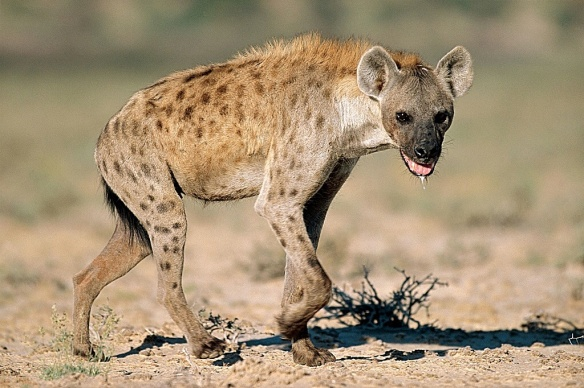 Spotted hyena from kids.britannica.com