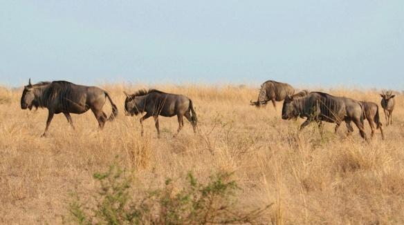 Wildebeest in Kruger national park, South Africa