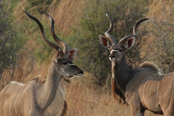 Greater Kudu males