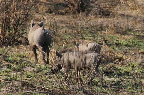 Warthog and young