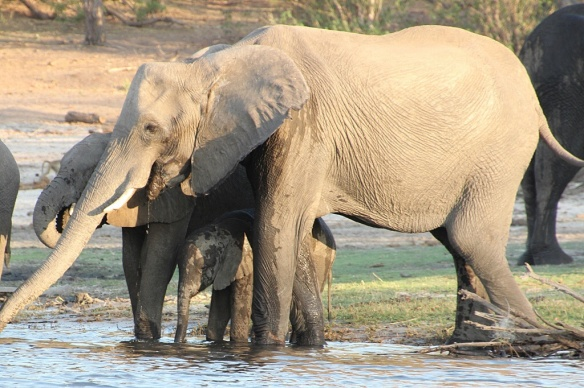 Baby elephant seeks protection under its mother at the watering hole