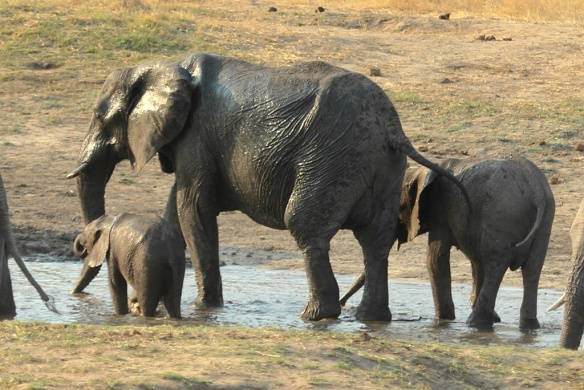 Mother elephant with two youngsters