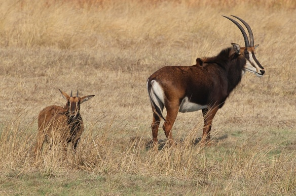 Sable antelope mother and kid