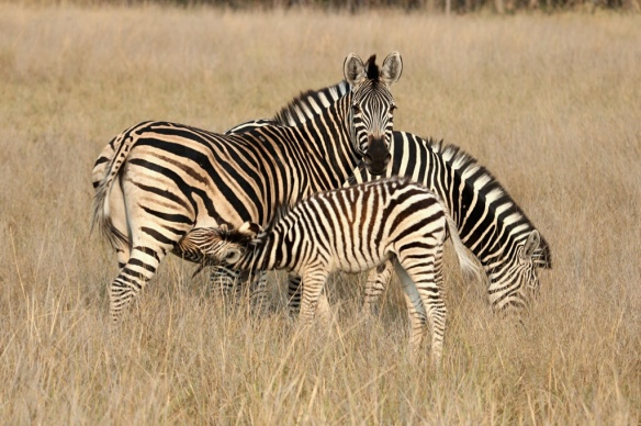 Zebra mother and young