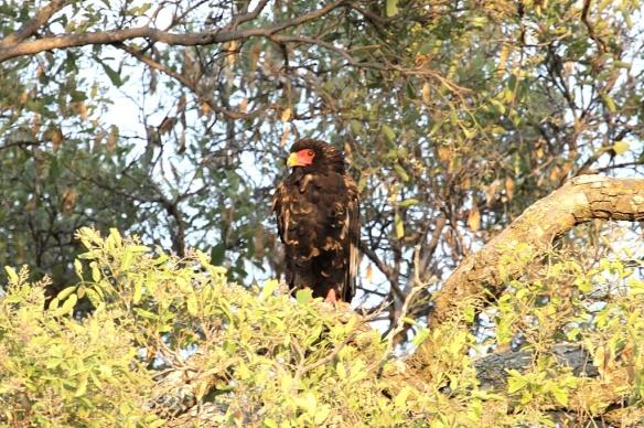 Bateleur eagle, Okavango delta