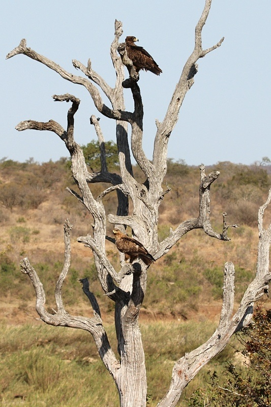 Walhlber's Eagle (top) and Tawny Eagle (bottom)