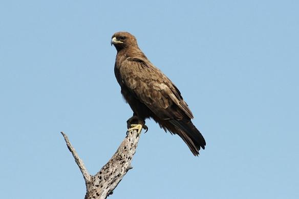 Wahlberg's Eagle