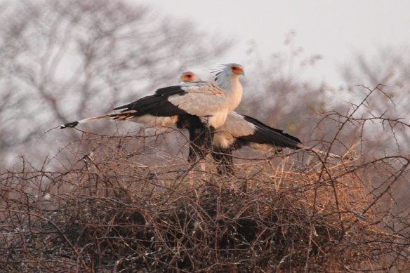 A pair of secretary birds on their roosting nest