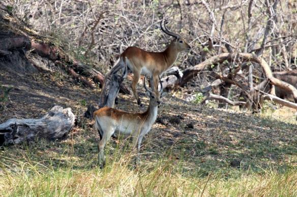 Lechwe antelope in the Okavango delta