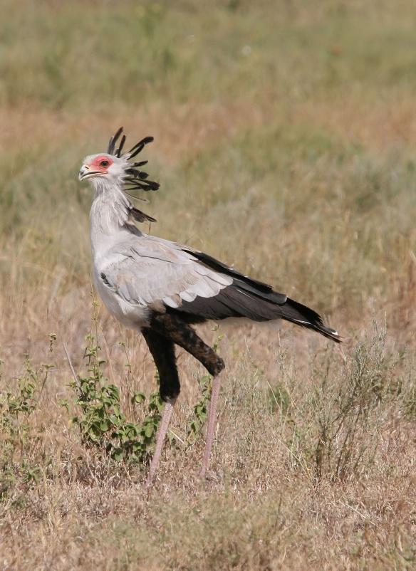 Secretary bird (from Wikipedia by Yoky)