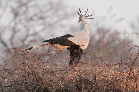 Secretary bird at Hwange national park, Zimbabwe