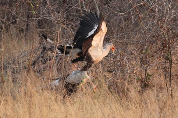 Secretary birds from Hwange national park, Zimbabwe