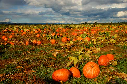 Pumpkin_Field_(Yamhill_County,_Oregon_scenic_images)_(yamDA0063)