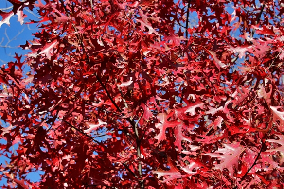 red oak leaves in the fall