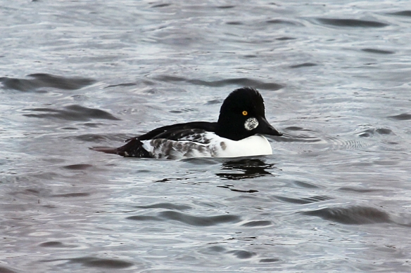 common-goldeneye-first year male