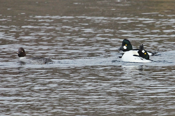 common-goldeneye-males displaying