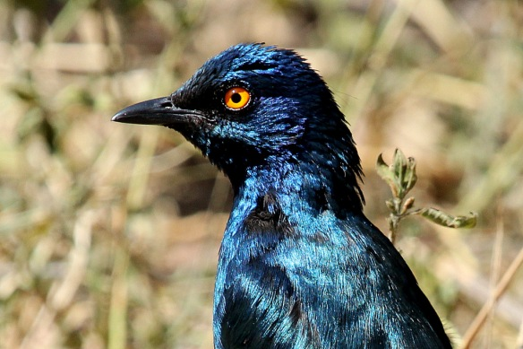 The bright orange-yellow eye of this  Starling from South Africa is one of its key identifcation characters.