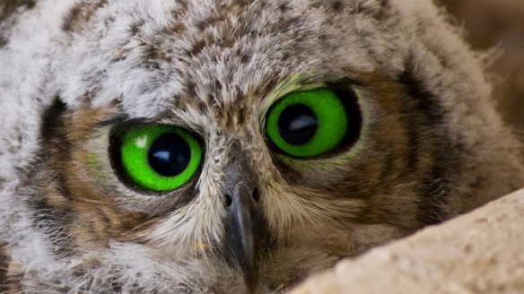 green-eyed owl