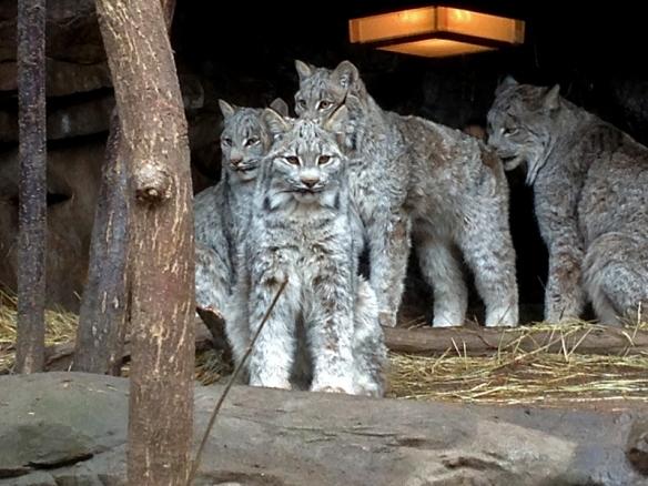 lynx kittens at the Minnesota Zoo