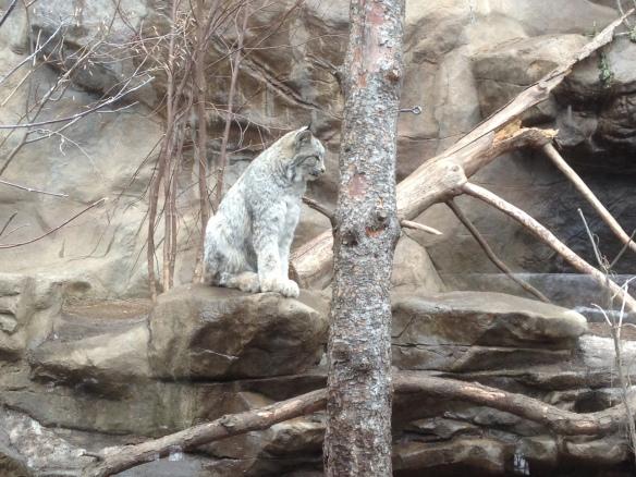 MN zoo-lynx kittens
