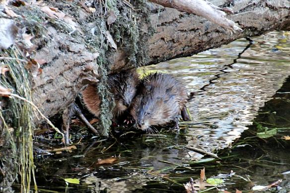 muskrats resting under a log