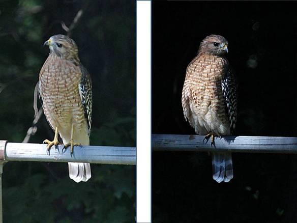 red-shouldered hawk retracted leg