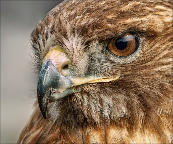 Red-tailed hawk eyes-PentaxForums.com