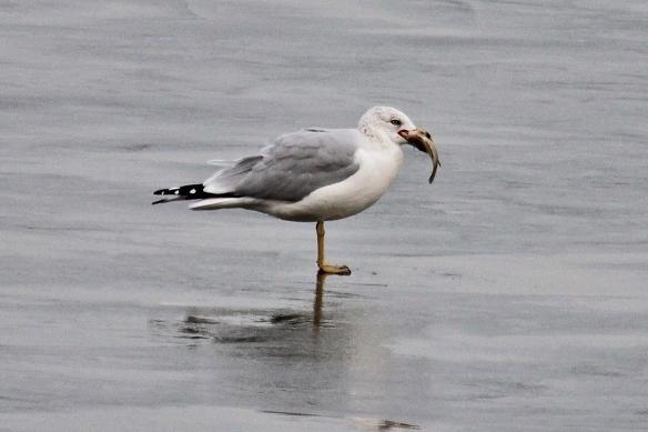 ring-billed gull eating fish