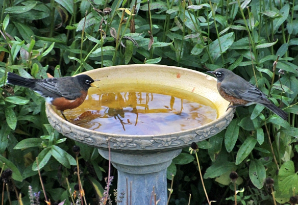 robin bathing