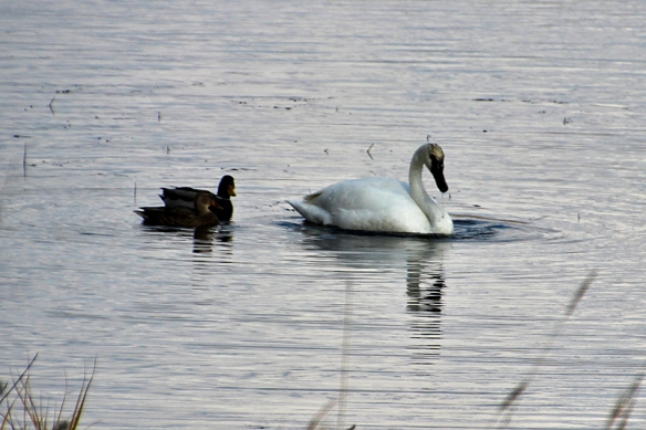 swan dredging attracts ducks