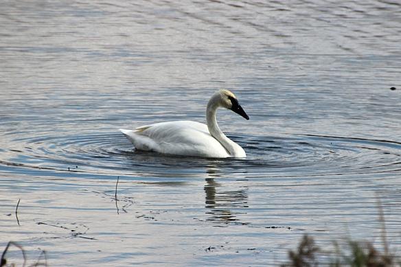 swan dredging