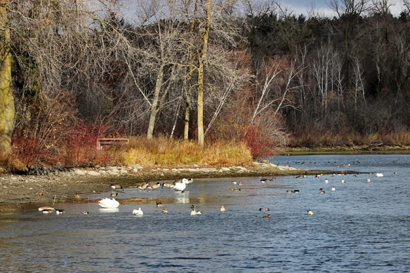 swans-geese-ducks foraging on lake shoreline