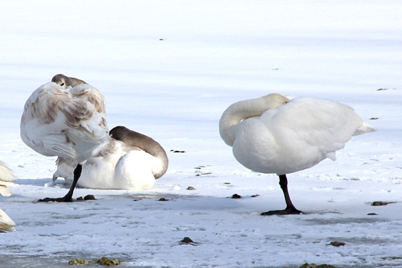 trumpeter swans resting on one leg