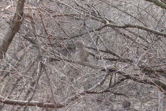 barred-owl-camouflage