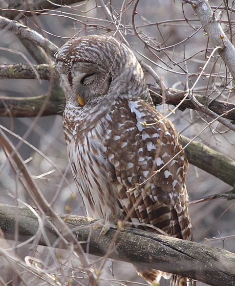 barred-owl-sleeping in the daytime