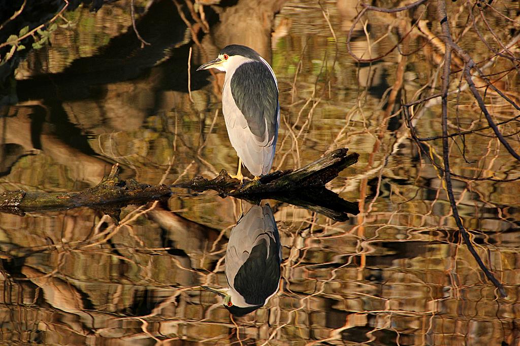 Mourning dove back yard biology for Lake temescal fishing