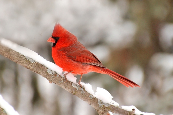 cardinal-in-snowstorm