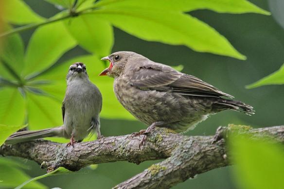 cowbird chick begging