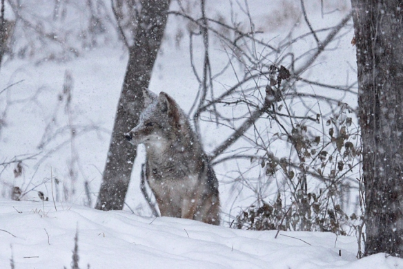 coyote-in-the-snow